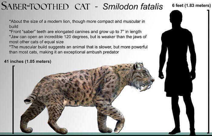 800px-Smilodon_fatalis_life-restoration_'08